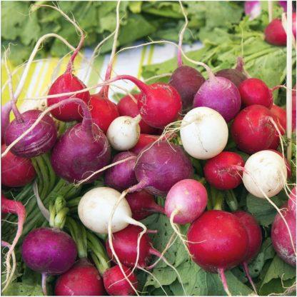Radish - Easter Egg - St. Clare Heirloom Seeds