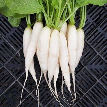 Radish - White Icicle - St. Clare Heirloom Seeds