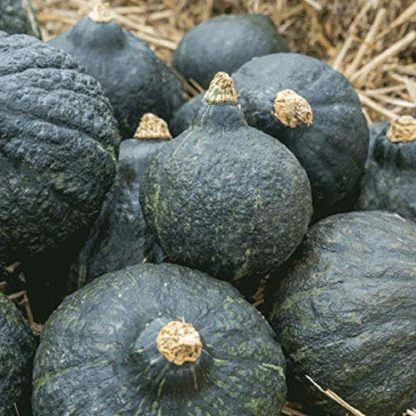 Squash, Winter - Hubbard Chicago Warted - St. Clare Heirloom Seeds