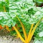 Swiss Chard - Golden Sunrise - St. Clare Heirloom Seeds