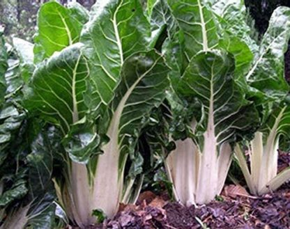 Swiss Chard - Lucullus - St. Clare Heirloom Seeds