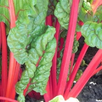 Swiss Chard - Ruby Red - St. Clare Heirloom Seeds