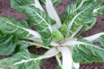Swiss Chard -White Cloud - St. Clare Heirloom Seeds