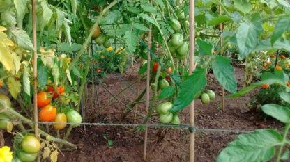 Tomato, Paste - Roma - St. Clare Heirloom Seeds