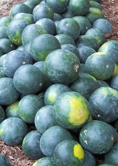 Watermelon - Sugar Baby - St. Clare Heirloom Seeds