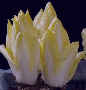 Endive, Chicory - Witloof - St. Clare Heirloom Seeds