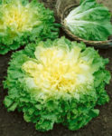 Batavian Full Heart Endive - St. Clare Heirloom Seeds