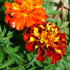 Flower - Marigold - Sparky Mix - St. Clare Heirloom Seeds