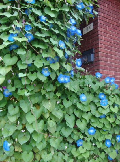 Heavenly Blue Morning Glory - St. Clare Heirloom Seeds Photo Credit PJ Smith