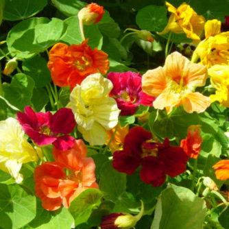 Flower - Nasturtium - Dwarf Jewel Mix - St. Clare Heirloom Seeds
