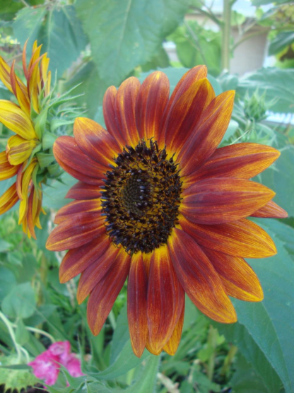 Autumn Beauty Sunflower - St. Clare Heirloom Seeds Photo Credit PJ Smith