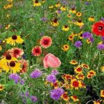 Midwestern Wildflower Mix - St. Clare Heirloom Seeds