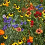 Flower - Wildflower - Southern Mix - St. Clare Heirloom Seeds