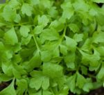 Herb, Perennial - Garden Cress - St. Clare Heirloom Seeds