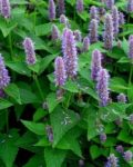 Herb, Perennial - Hyssop - St. Clare Heirloom Seeds