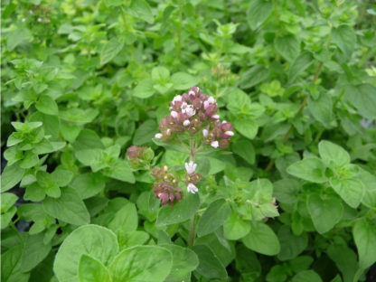 Herb, Perennial - Oregano Italian - St. Clare Heirloom Seeds