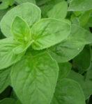 Herb, Perennial - Oregano Italian - St. Clare Heirloom Seeds