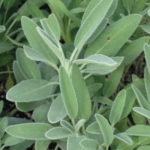 Herb, Perennial - Sage Broadleaf - St. Clare Heirloom Seeds