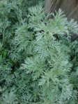 Herb, Perennial - Wormwood - St. Clare Heirloom Seeds