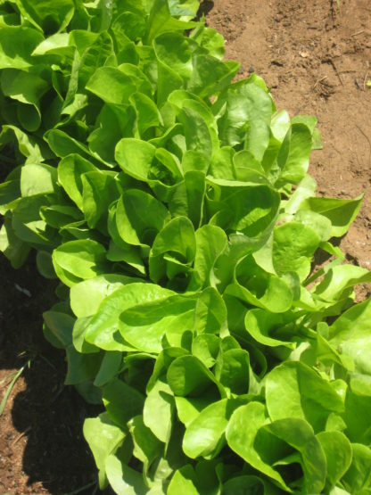Lettuce - Buttercrunch - St. Clare Heirloom Seeds