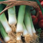 Leek - Giant Musselburgh - St. Clare Heirloom Seeds
