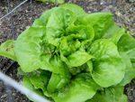 Lettuce, Head - Bibb - St. Clare Heirloom Seeds