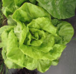 Lettuce, Heading - Buttercrunch Forming Head - St. Clare Heirloom Seeds