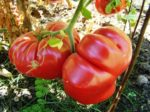 Tomato, Pink and Purple - Dutchman - St. Clare Heirloom Seeds
