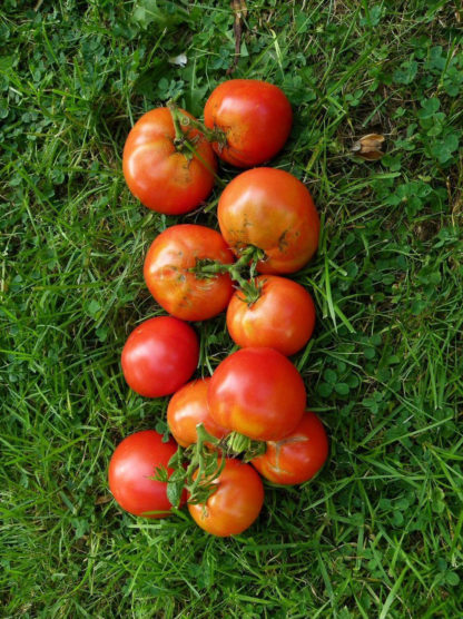 Tomato, Red - Rutgers Immature Fruit - St. Clare Heirloom Seeds