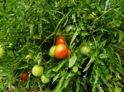 Tomato, Red - Rutgers Tomato Plant - St. Clare Heirloom Seeds