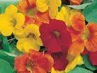Dwarf Jewel Mix Nasturtium - St. Clare Heirloom Seeds