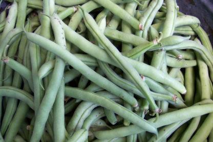 Bean - Top Crop - St. Clare Heirloom Seeds