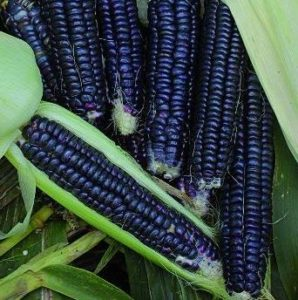 Black Aztec Corn - St. Clare Heirloom Seeds