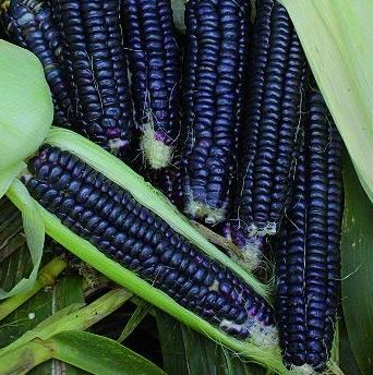 Black Aztec Corn - St. Clare Heirloom Seeds