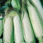 Country Gentleman Non GMO Corn - St. Clare Heirloom Seeds
