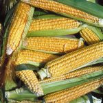 Golden Bantam Improved Non GMO Corn - St. Clare Heirloom Seeds