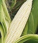Stowell's Evergreen Corn - St. Clare Heirloom Seeds