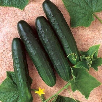 Bush Crop Cucumber - St. Clare Heirloom Seeds