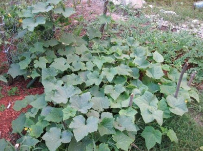 Cucumber, Slicing - Straight Eight Plants -St. Clare Heirloom Seeds - Photo credit: Robert Duval