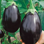 Black Beauty Eggplant - St. Clare Heirloom Seeds