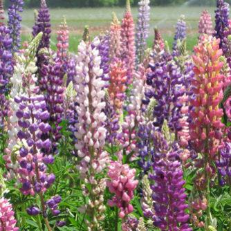 Flower - Russel Lupine - St. Clare Heirloom Seeds