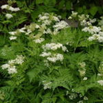 Anise Herb - St. Clare Heirloom Seeds