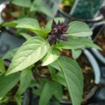 Licorice Basil Herb - St. Clare Heirloom Seeds