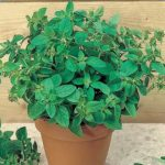 Herb, Annual - Sweet Marjoram - St. Clare Heirloom Seeds