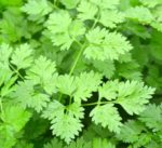 Herb - Chervil - St. Clare Heirloom Seeds