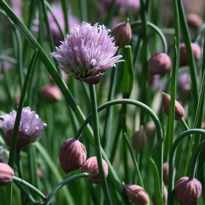 Herb - Chives - St. Clare Heirloom Seeds - Photo credit: Cheryl Netter
