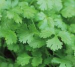 Herb - Coriander Cilantro - St. Clare Heirloom Seeds