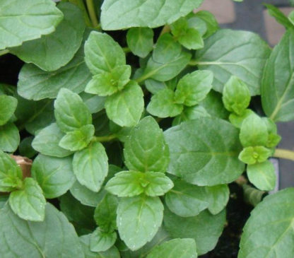 Herb, Perennial - Peppermint - St. Clare Heirloom Seeds