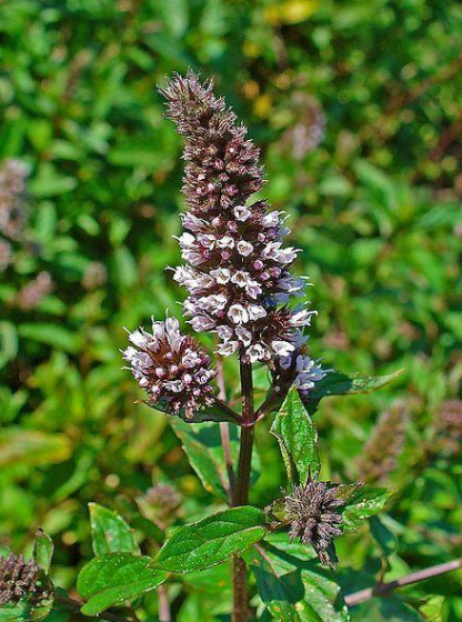 Herb, Perennial - Peppermint Bloom - Photo by H. Zell - St. Clare Heirloom Seeds