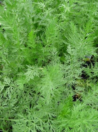 Herbs, Perennial - Caraway - St. Clare Heirloom Seeds